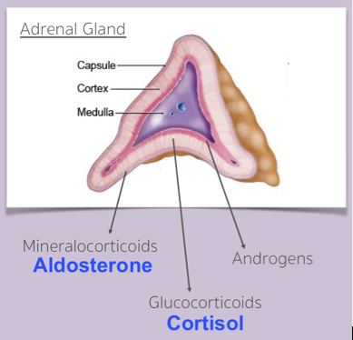 Adrenal Gland Anatomy + Physiology