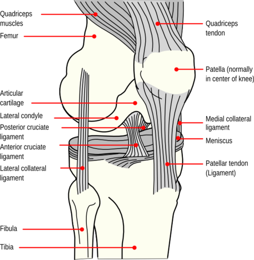 Knee Anatomy (www.stoneclinic.com)