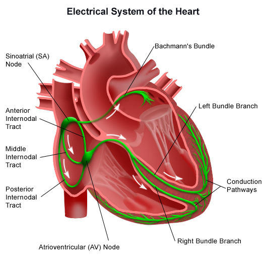 Cardiac Conduction System (www.heart.valve-sugery.com)