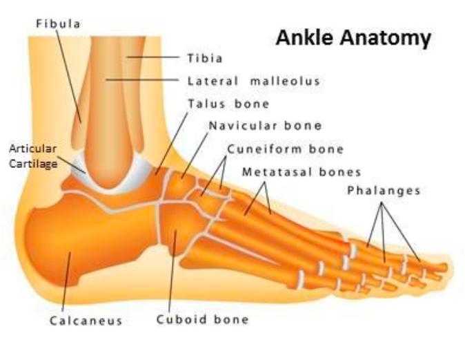 Ankle Anatomy (http://www.tsaog.com/)