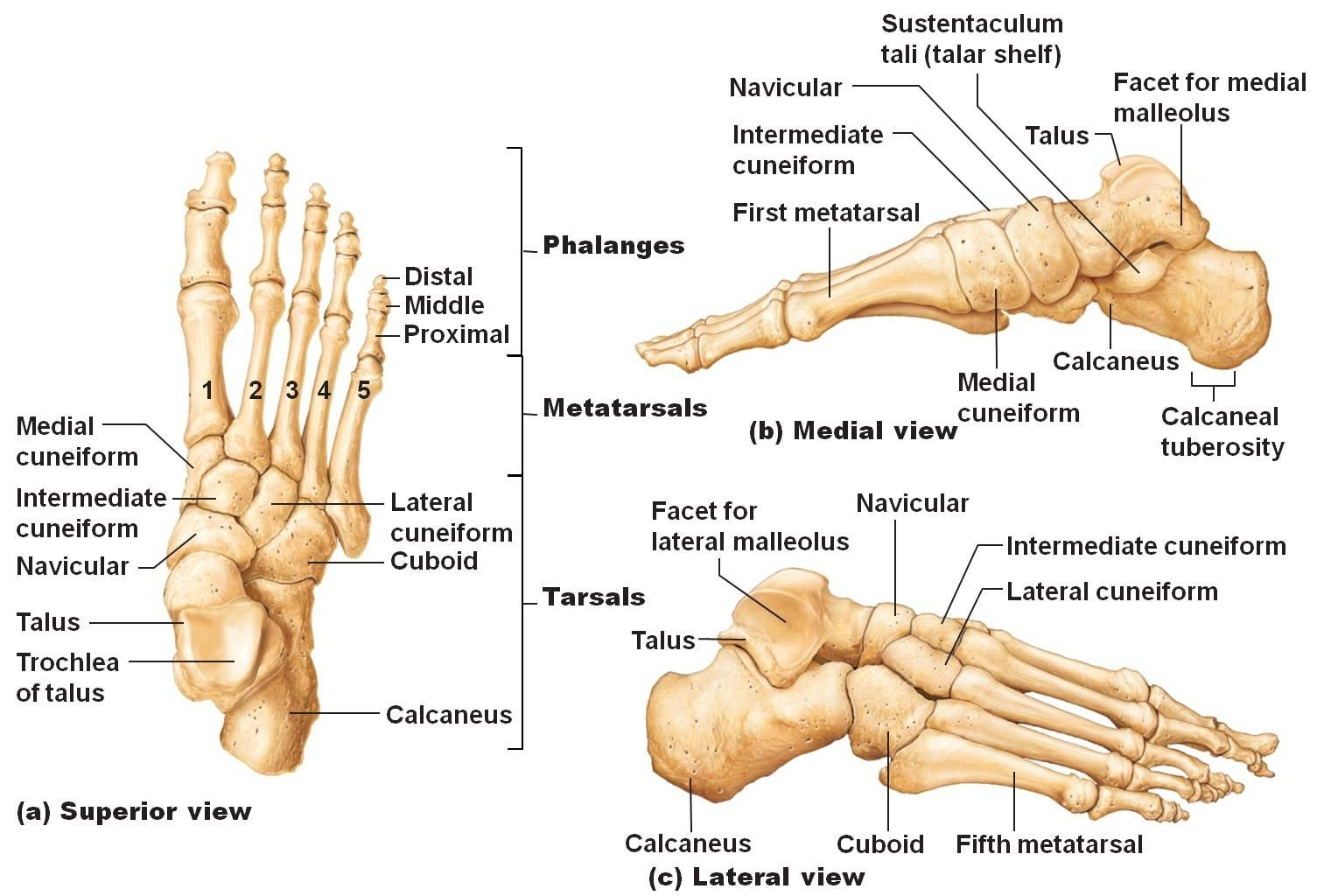 emDOCs.net – Emergency Medicine EducationCORE EM: Lisfranc Injuries ...