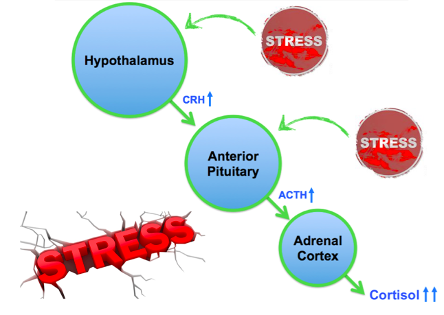 Normal physiologic functioning of the HPA axis under stress leading to increased cortisol production.
