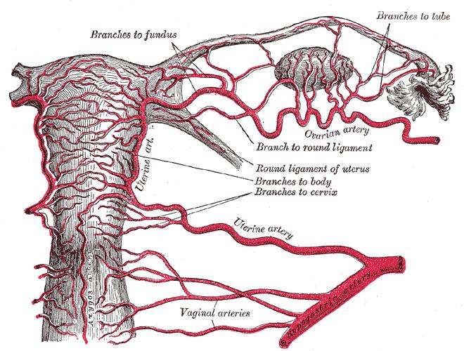 Pelvic Vascular Supply - Wikimedia