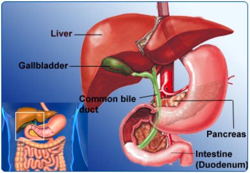 Hepatobiliary Tract Anatomy
