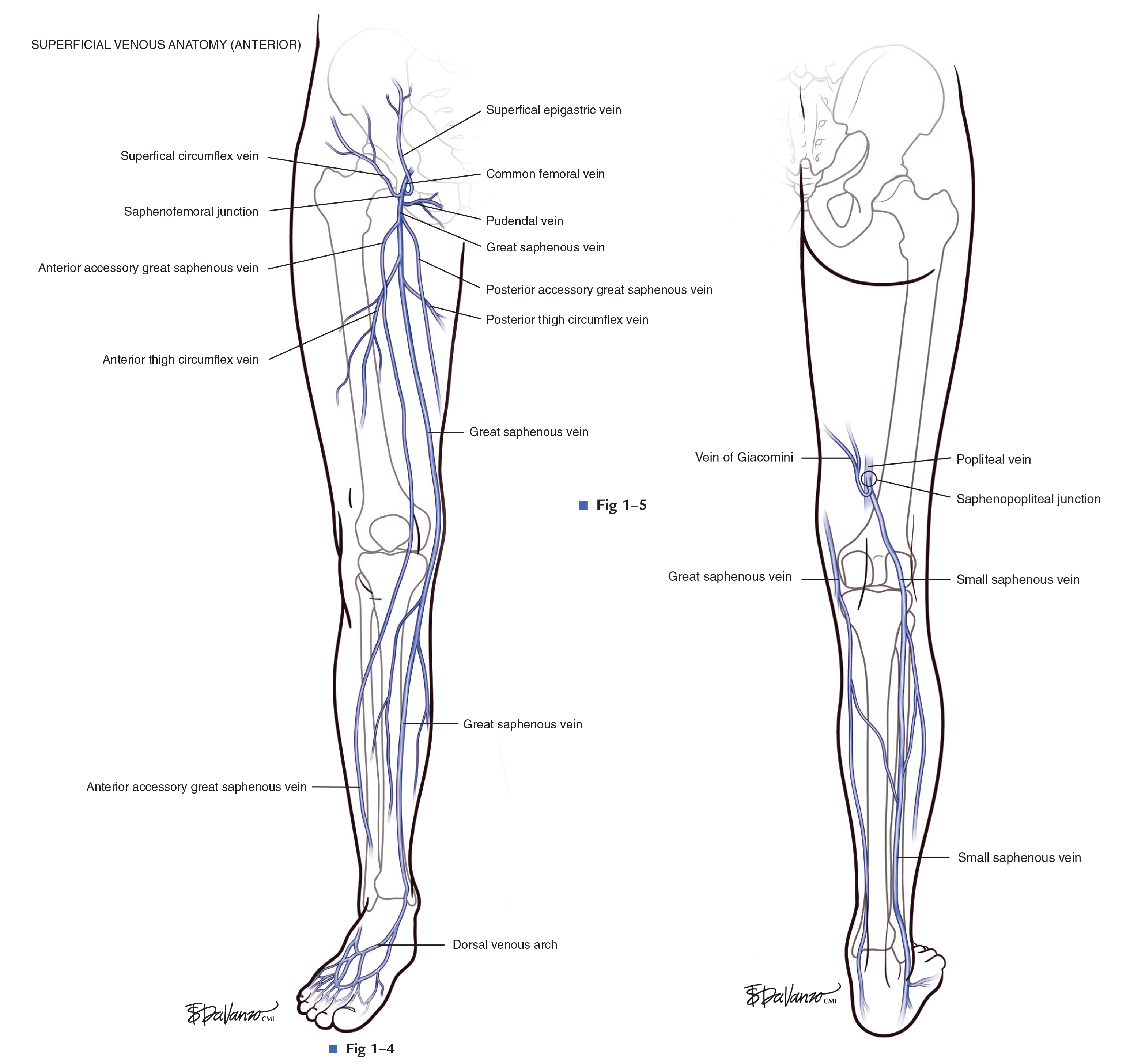Lower Extremity Venous Anatomy (Atlas of Endovascular Venous Surgery)