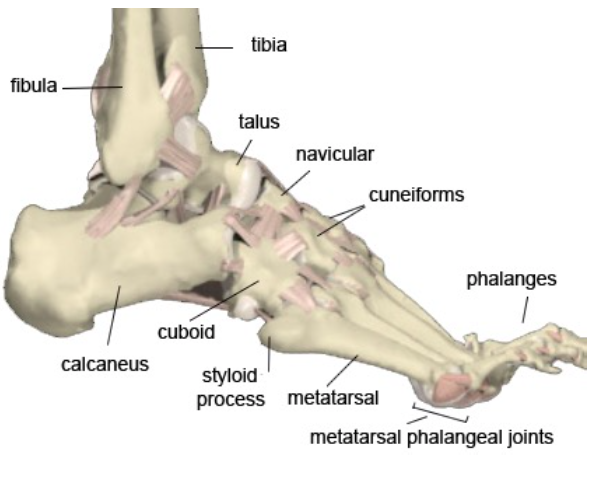 Foot and Ankle Bones (northcoastfootcare.com)