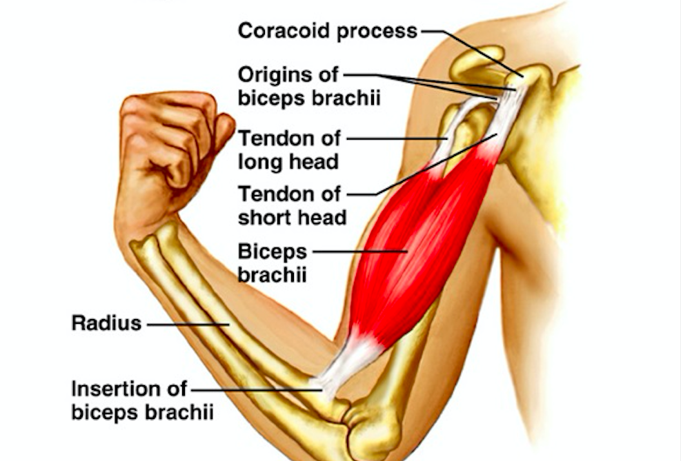 Biceps And Triceps Tendon Rupture Core Em