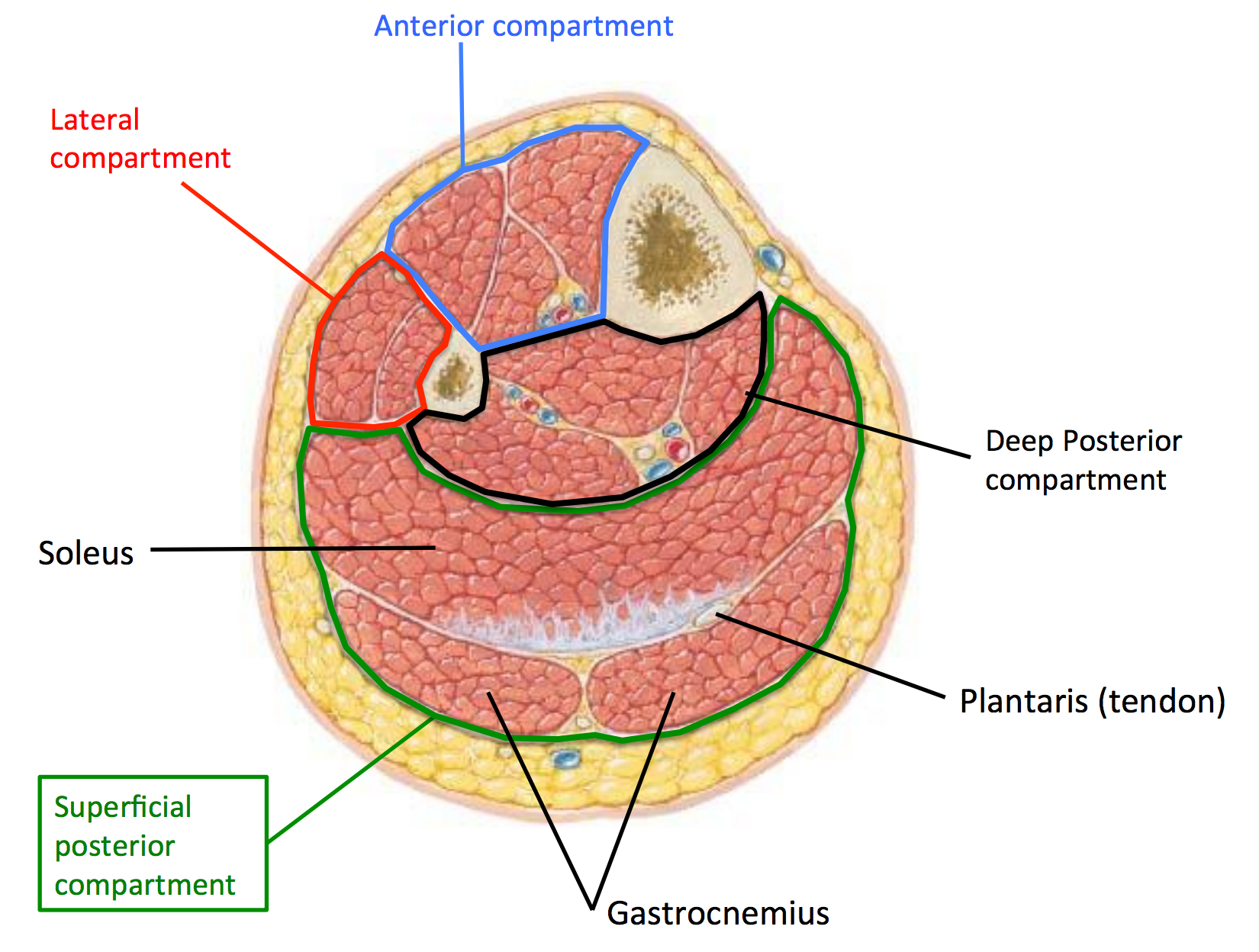 Cross Sectional View of Femur (anatomymedicalook.com)