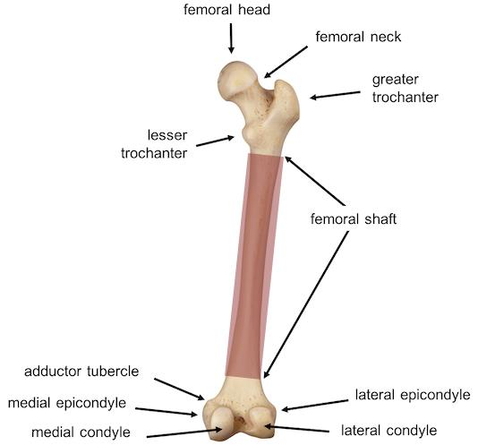 pediatric femur fractures \u2013 core em Hip Diagram